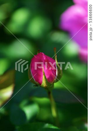 薔薇の蕾 53666600