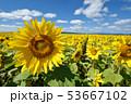 青空とひまわり(北海道・智恵文) 53667102