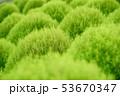 グリーンのコキア 53670347