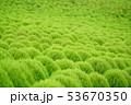 グリーンのコキア 53670350