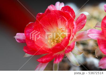Closeup beautiful blooming Lobivia cactus flower 53672514