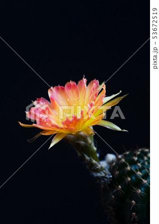 Closeup beautiful blooming Lobivia cactus flower 53672519