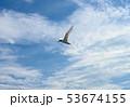 アジサシ・海鳥・飛ぶ・青空 53674155