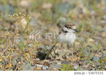砂利の上を歩くコチドリの雛 53675535