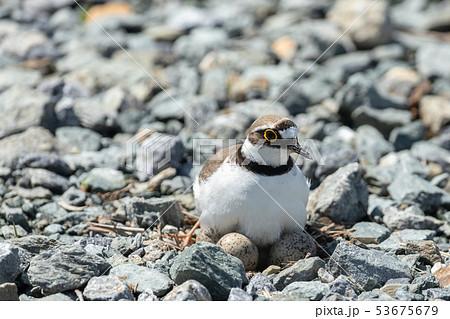 抱卵するコチドリ 53675679