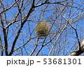 ヤドリギ 53681301