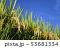 田畑 イネ 米の写真 53681334
