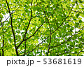 日本 緑 新緑の写真 53681619