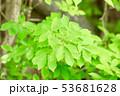 緑 葉っぱ 葉の写真 53681628