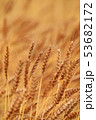 麦 畑 麦畑の写真 53682172