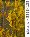 Beautiful yellow flowers on a tree in the park. 53684135