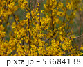 Beautiful yellow flowers on a tree in the park. 53684138