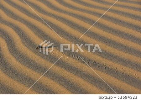 インドのジャイサルメールのクーリー村 砂丘を歩く昆虫のフンコロガシ 53694523