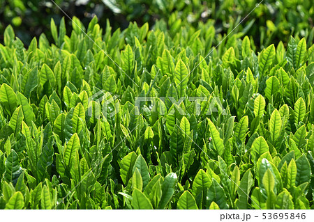 茶畑 53695846