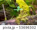 苔の森 朽木 新芽 【長野県】 53696302