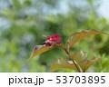 Himalayan honeysuckle 53703895