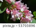 Japanese weigela 53703896