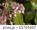 Japanese pieris Dorothy Wyckoff 53703897