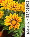Treasure flower 53703903