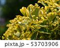 Japanes spindle Marieke 53703906