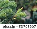 Fat Albert Colorado blue spruce 53703907
