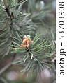Dwarf mountain pine 53703908