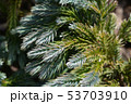 Flaky Juniper Blue Star 53703910