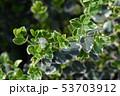 Wintercreeper Emerald Gaiety 53703912
