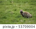 蝦夷狸 狸 哺乳類の写真 53709004