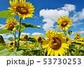 青空とひまわり(北海道・智恵文) 53730253