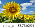 青空とひまわり(北海道・智恵文) 53730254