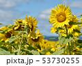 青空とひまわり(北海道・智恵文) 53730255