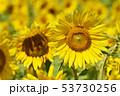 ひまわり畑(北海道・智恵文) 53730256