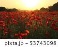 さくら市 ポピー ポピー畑の写真 53743098