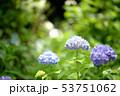 紫陽花 咲く 開花の写真 53751062
