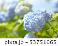 紫陽花 咲く 開花の写真 53751065
