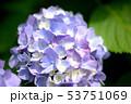 紫陽花 咲く 開花の写真 53751069