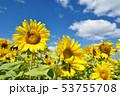青空とひまわり(北海道・智恵文) 53755708
