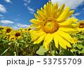 青空とひまわり(北海道・智恵文) 53755709