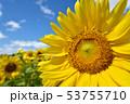 青空とひまわり(北海道・智恵文) 53755710