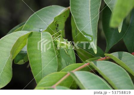 ヤブキリの幼虫、ヤマウルシの葉に潜む 53758819