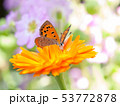 花に遊ぶ蝶 53772878