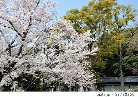 神明社の桜 53780259