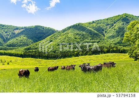高原の牧場と放牧牛 宮城大崎市営鳴子放牧場 53794158