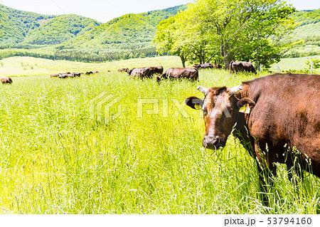 高原の牧場と放牧牛 宮城大崎市営鳴子放牧場 53794160
