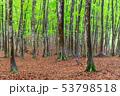 新緑が美しいブナ林 53798518