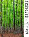 新緑のブナ 53798521