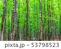 新緑のブナ林 53798523