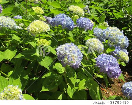 咲き始めたアジサイの青い花、黄色い花 53799410