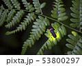 【ホタル】ゲンジボタルの発光 53800297